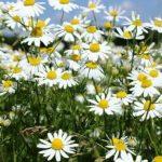Bunga kamomile untuk obat infeksi lambung